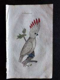 Brightly 1815 Antique Hand Col Bird Print. Cockatoo